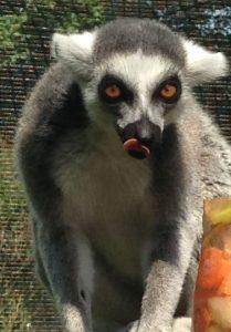 Lemur frozen treats1 (2)
