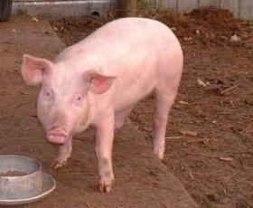 Hybrid Middle White Pig