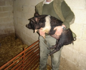Large Saddleback Pig