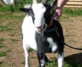 Pygmy Goat – Gobo