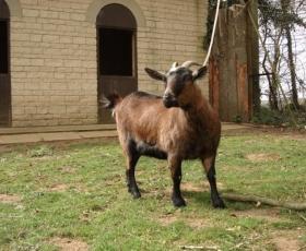 Pygmy Goat – Razzle
