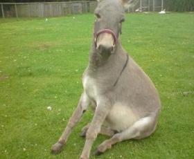 Sicilian Pygmy Donkey
