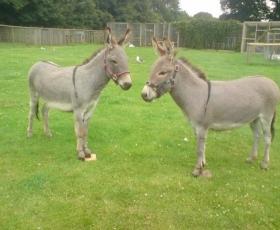 Sicilian Pygmy Donkeys