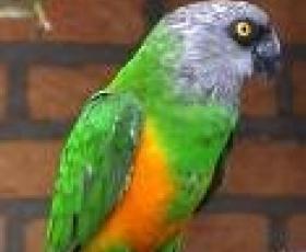 Senagal Parrot
