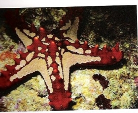 Chocolatechip Starfish