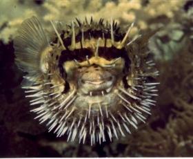 Porcupine Puffer
