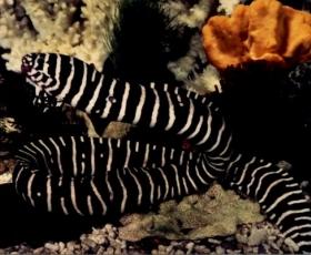 Zebraeel