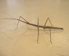 Giant Thai Stick Insect