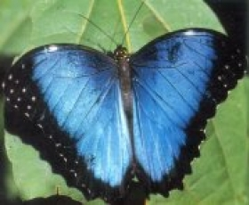 Morphos Butterflies