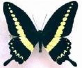 Papilio Demolion Butterflies