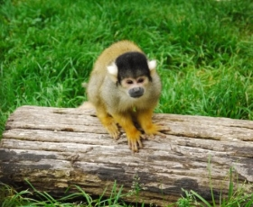 Black Cap Squirrel Monkey