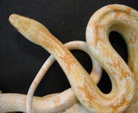 Butter Corn Snake