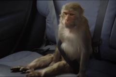 Peter Kay's Car Share Rhesus Monkey 2