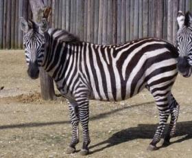 Zebra – Zambizi