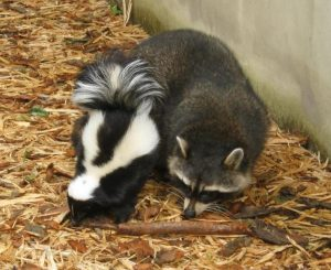 raccoon & skunk