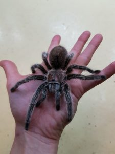 Chilean Rose Tarantula (2)